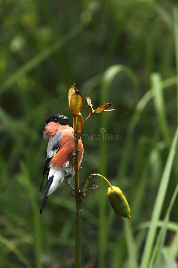 Europees-Aziatische pyrrhula van goudvinkpyrrhula is een kleine passerinevogel in de vinkfamilie royalty-vrije stock afbeelding