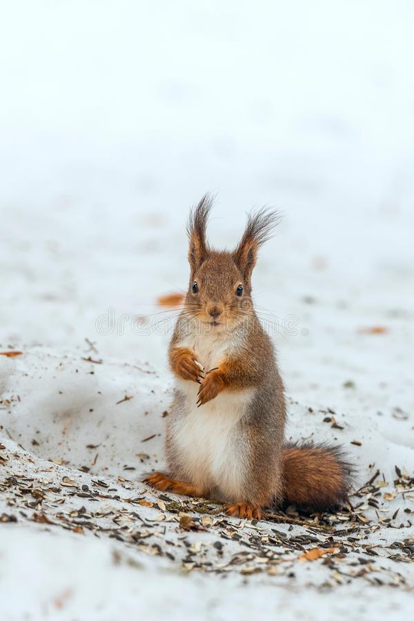 Europees-Aziatische rode eekhoorn De winter Rusland royalty-vrije stock afbeeldingen