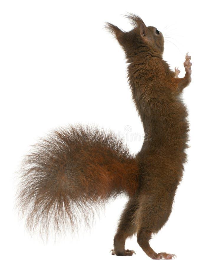Europees-Aziatische rode eekhoorn op achterste benen stock foto