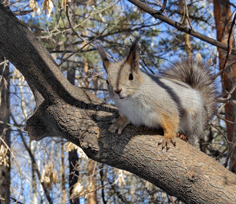 Europees-Aziatische rode eekhoorn op een pijnboom De gewone Eekhoorn is de soort knaagdieren van de eekhoornfamilie stock foto's