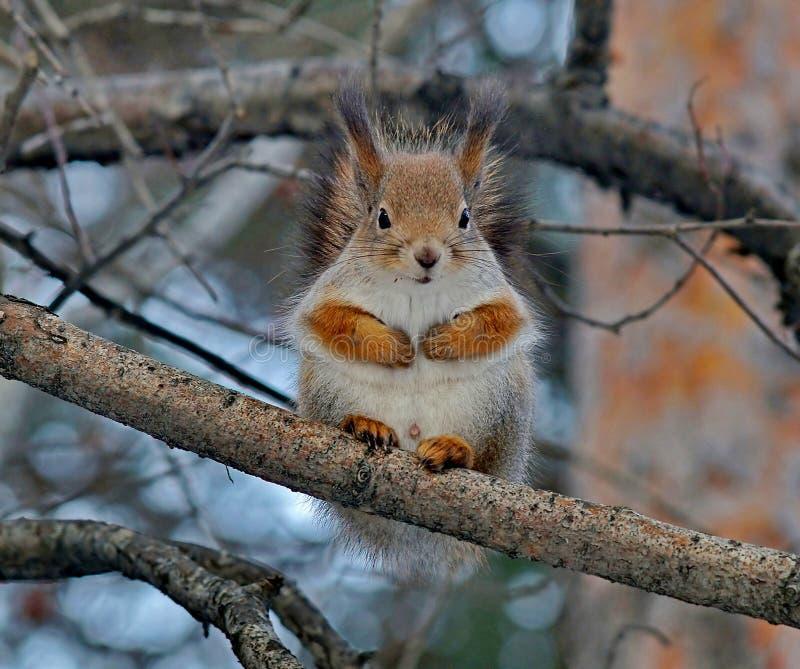 Europees-Aziatische rode eekhoorn op een pijnboom De gewone Eekhoorn is de soort knaagdieren van de eekhoornfamilie royalty-vrije stock foto's