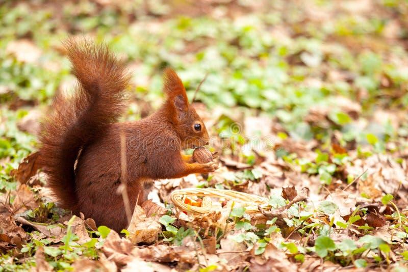 Europees-Aziatische rode eekhoorn (vulgaris scÃurus) met een okkernoot stock foto's