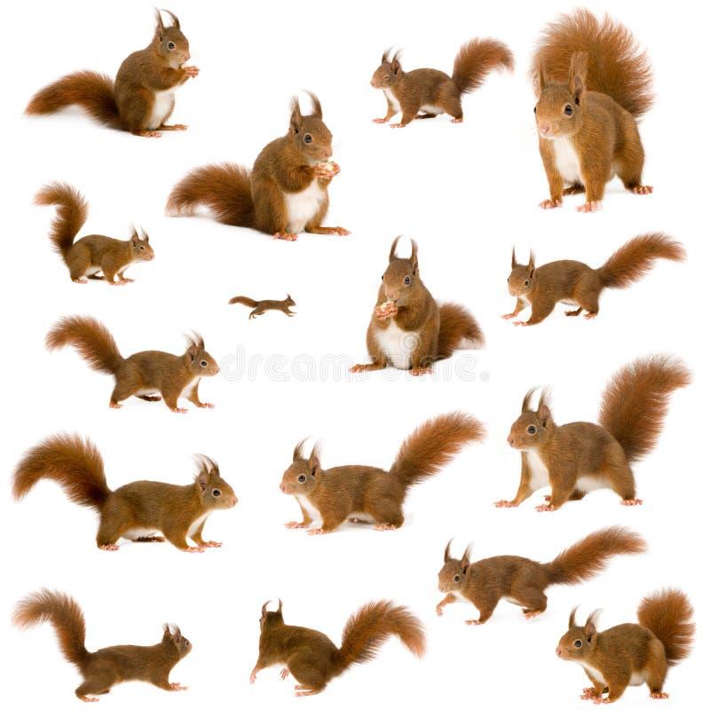 Europees-Aziatische rode eekhoorn - vulgaris Sciurus (2 jaar) royalty-vrije stock foto