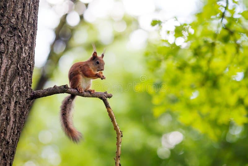 Europees-Aziatische rode eekhoorn (vulgaris Sciurus) royalty-vrije stock afbeeldingen