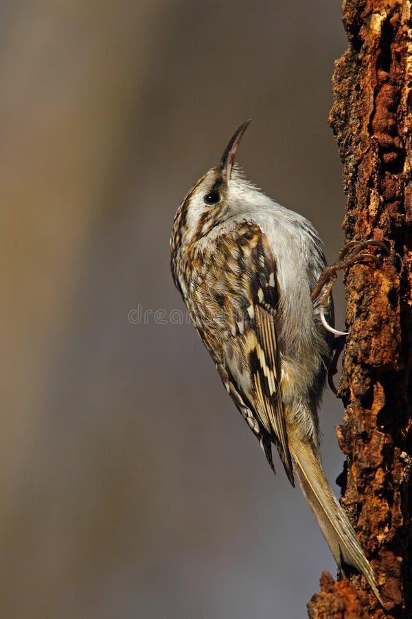 Europees-Aziatische treecreeper stock afbeeldingen