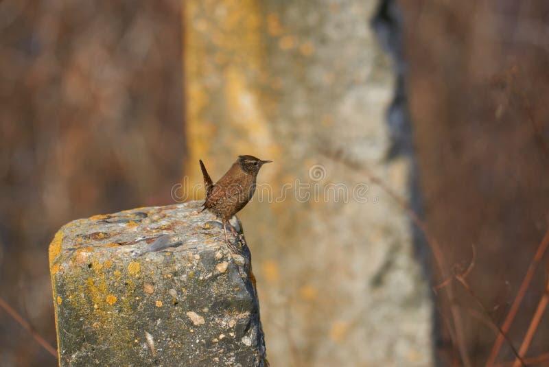 Europees-Aziatische winterkoninkje of Holbewonersholbewoners een kleine vogel stock foto's