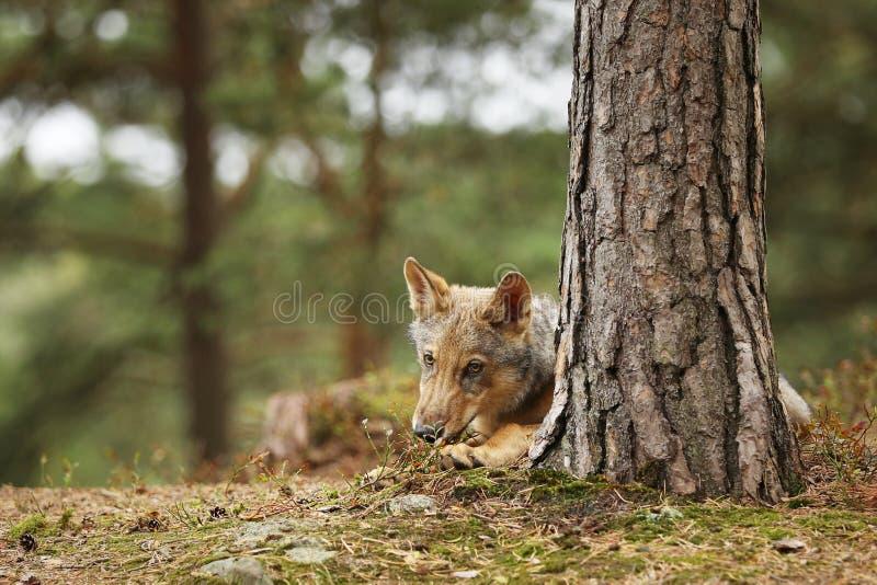 Europees-Aziatische wolf die in de herfstbos liggen - Canis-wolfszweerwolfszweer royalty-vrije stock afbeeldingen