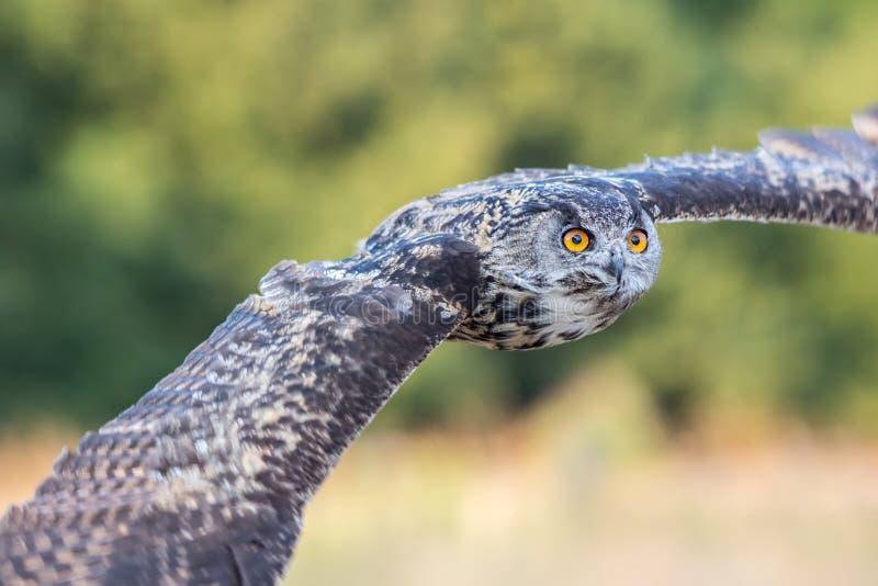 Europees Eagle Owl tijdens de vlucht Eagle-uil die met vleugels vliegen outstr royalty-vrije stock foto's