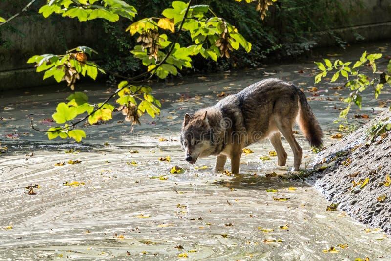 Europees Grey Wolf, Canis-wolfszweer in de dierentuin stock foto's