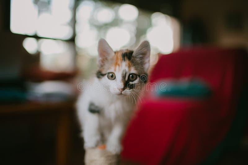 Europees kattenportret Portret van mooie kat Leuke drie kleurenkat Europese korte haired kat Portret van tricolorkatje stock fotografie