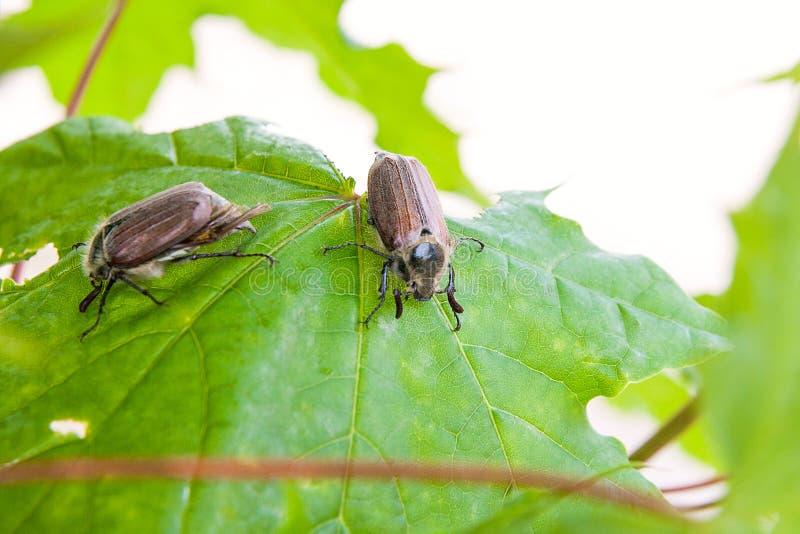 Europees keverongedierte - gemeenschappelijke die junikever Melolontha ook als het insect of de Wichelroede van a Mei op de tak v stock foto