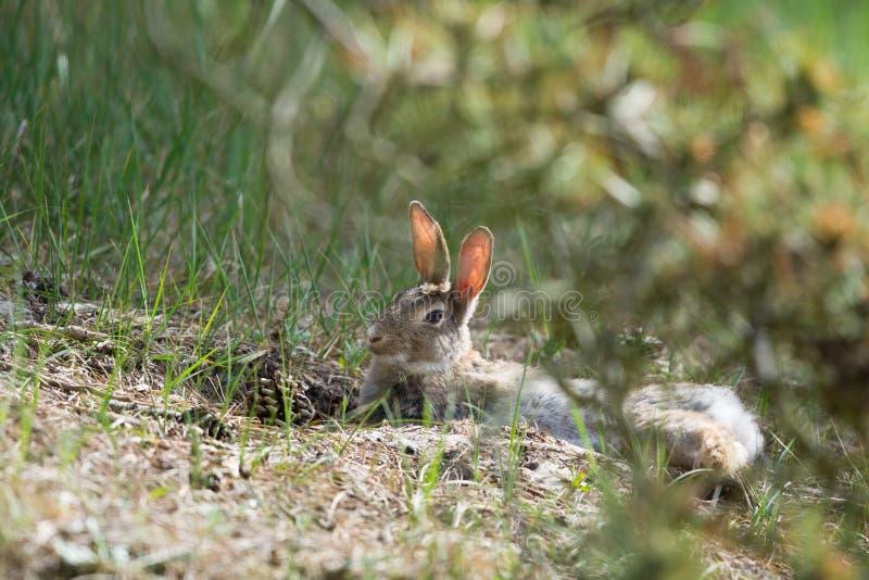 Europees konijn in aard royalty-vrije stock fotografie