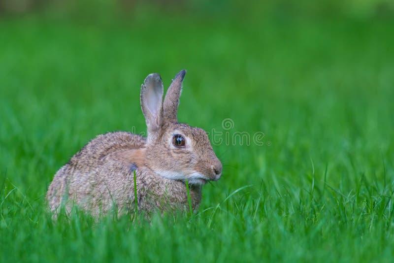 Europees Konijn, European Rabbit, Oryctolagus cuniculus. European Rabbit (Oryctolagus cuniculus) in a grassfield stock images