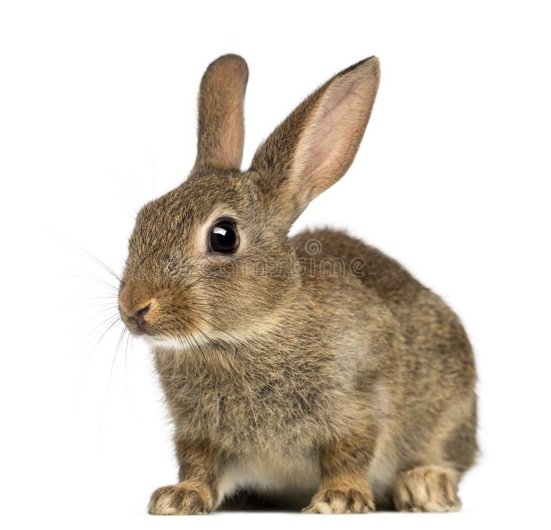 Europees konijn of gemeenschappelijk konijn, 2 maanden oud royalty-vrije stock afbeeldingen