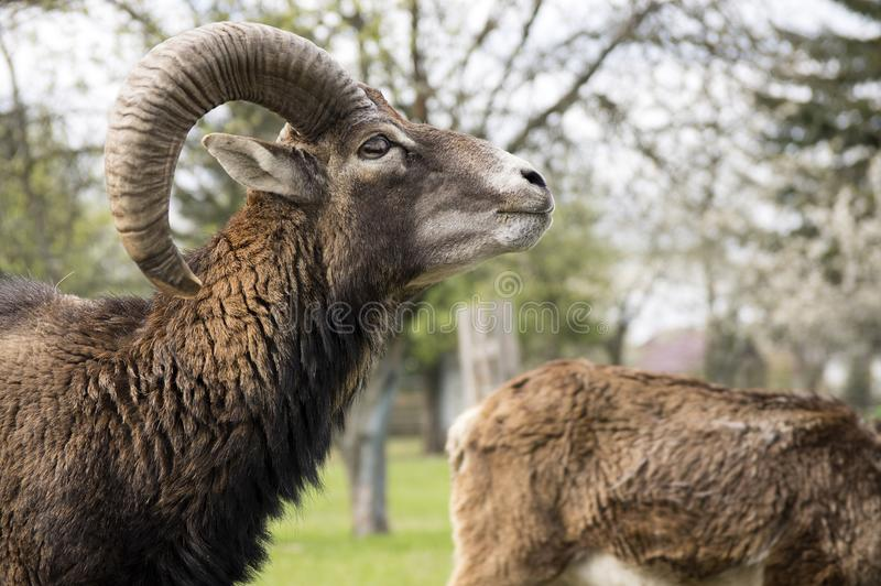 Europees mouflon dierlijk, mannelijk portret stock fotografie