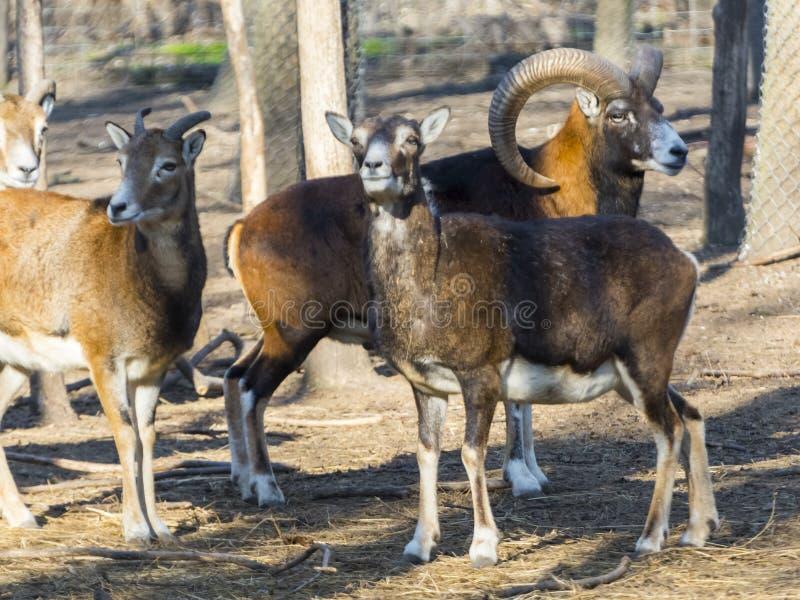 Europees mouflonmannetje stock afbeelding