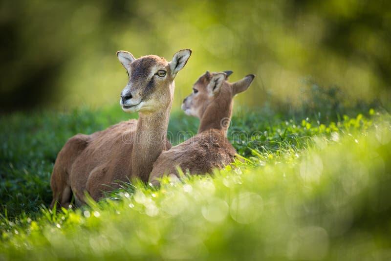 Europees mouflonwijfje met een youngst royalty-vrije stock foto