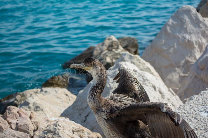 Europees pluizig laken of gemeenschappelijk pluizig laken Phalacrocorax Aristotelis bij de Kroatische Kust stock foto