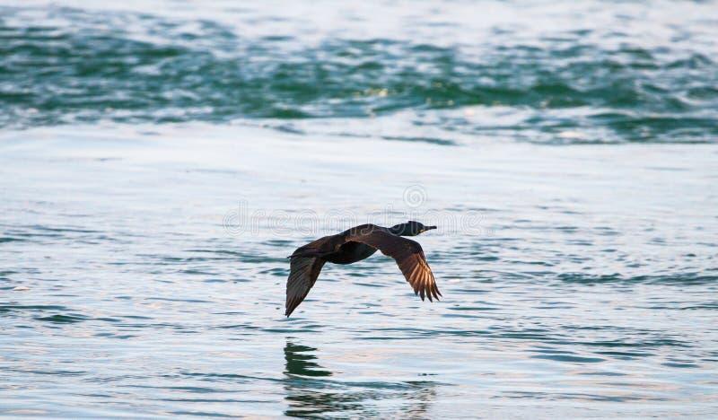 Europees pluizig laken Phalacrocorax Aristotelis tijdens de vlucht stock foto