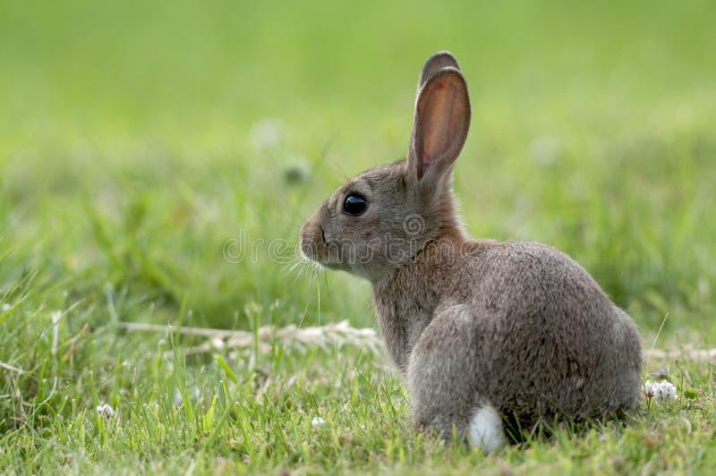 Europees wild konijn (Orytolagus-cuniculus) stock foto