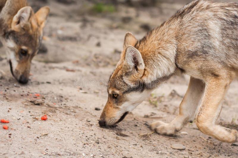 Europees wolfspuppy stock afbeelding