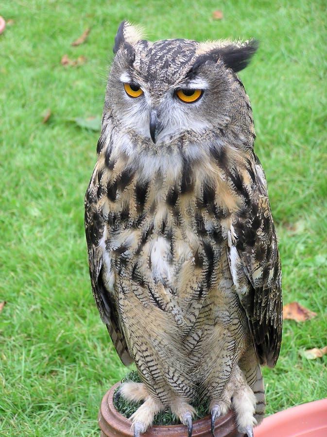 Download Europeisk örnOwl arkivfoto. Bild av varelser, owls, fjäder - 243826