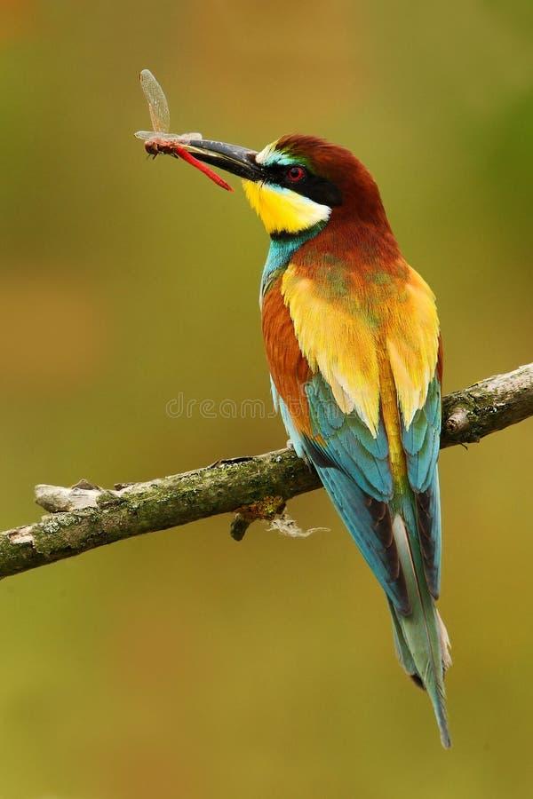 Europeisk Bi-ätare, Meropsapiaster, härligt fågelsammanträde på filialen med sländan i räkningen Handlingfågelplats i det nat royaltyfria foton