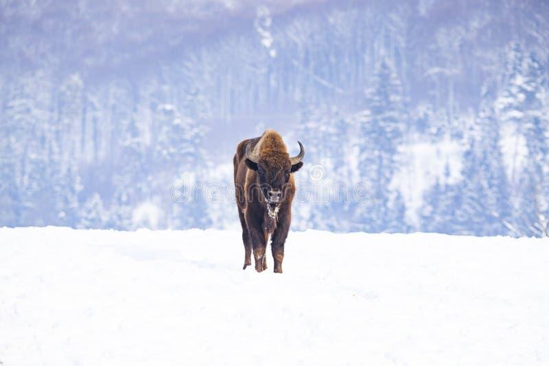 europeisk bison & x28; Bisonbonasus& x29; i naturlig livsmiljö i vinter arkivfoton