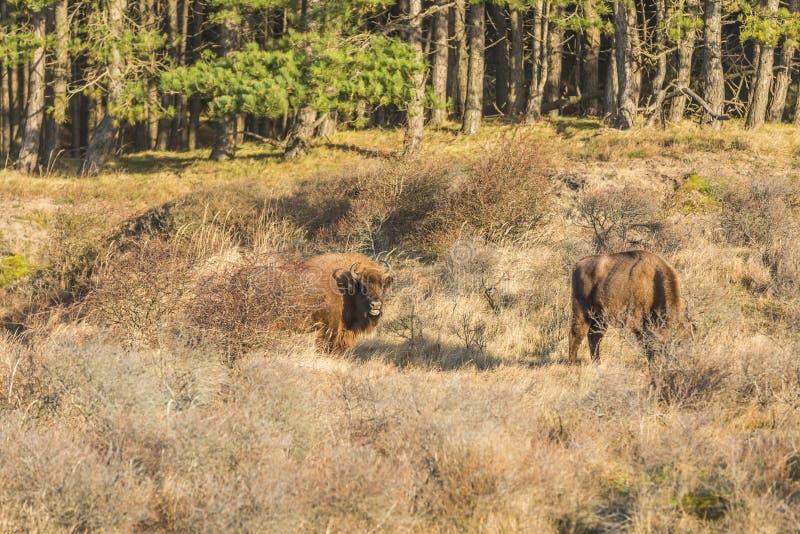 Europeisk bison, wisent arkivfoto