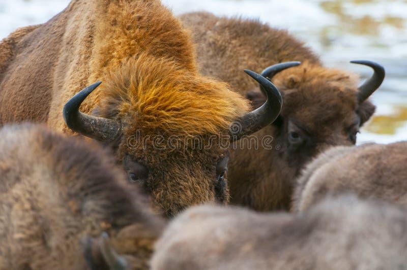 Europeisk bison, wisentbisonbonasus, flock i skogen, Bialowieza Forest National Park, Polen arkivbilder