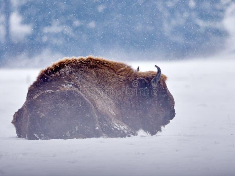 Europeisk bisonbisonbonasus i naturlig livsmiljö i vinter royaltyfri fotografi