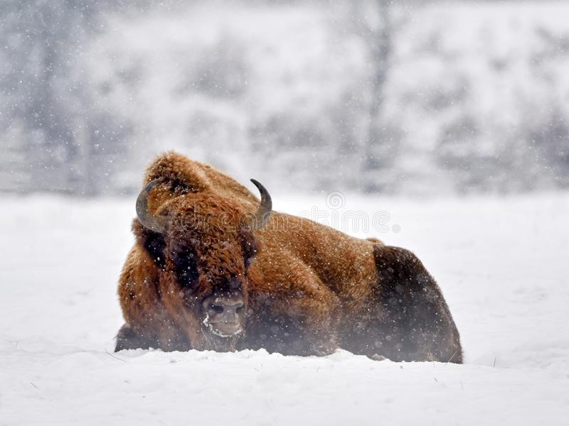 Europeisk bisonbisonbonasus i naturlig livsmiljö i vinter royaltyfri bild
