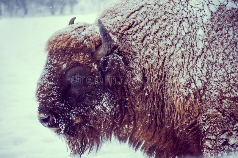 Europeisk bisonbisonbonasus på en snöig dag i naturlig livsmiljö royaltyfri fotografi