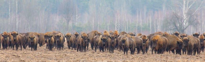 Europeisk bisonflock i snowless vinter royaltyfria bilder