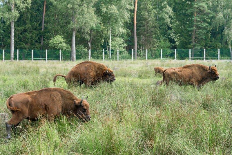 Europeisk bisoniBisonbonasus n dess naturliga livsmiljö arkivfoto