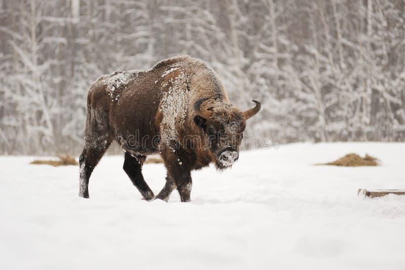 Europeisk bisonman i vinterskog arkivbilder