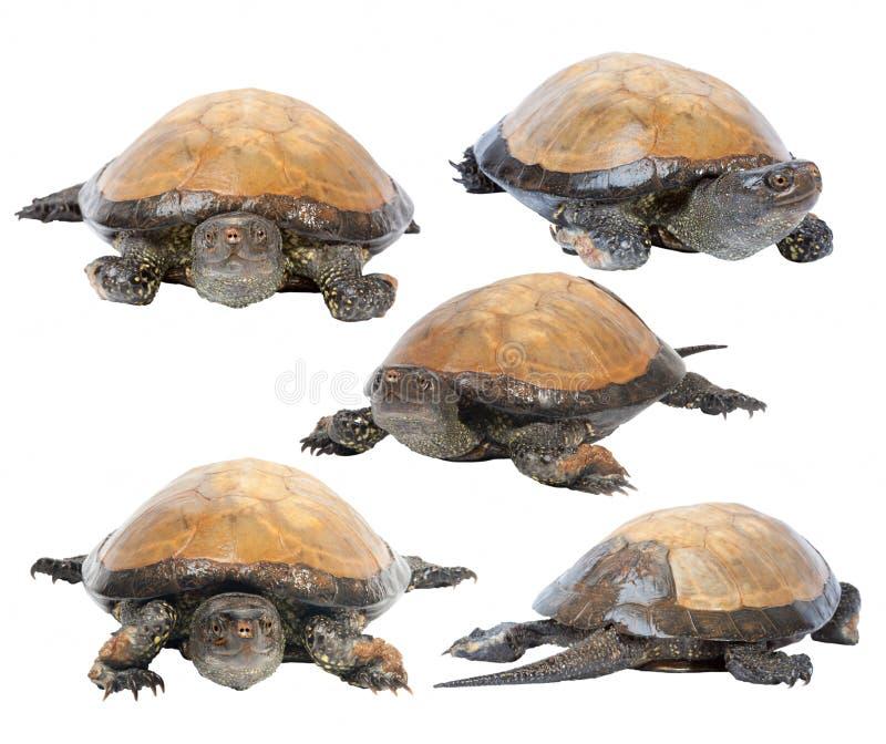 Europeisk dammsköldpadda som isoleras på vit bakgrund royaltyfria bilder