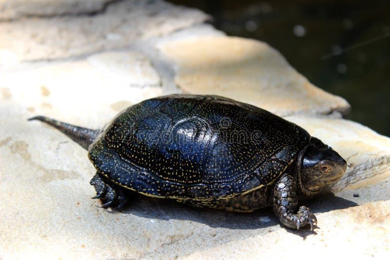 Europeisk dammsköldpadda som ligger på trottoaren nära ett damm arkivbilder