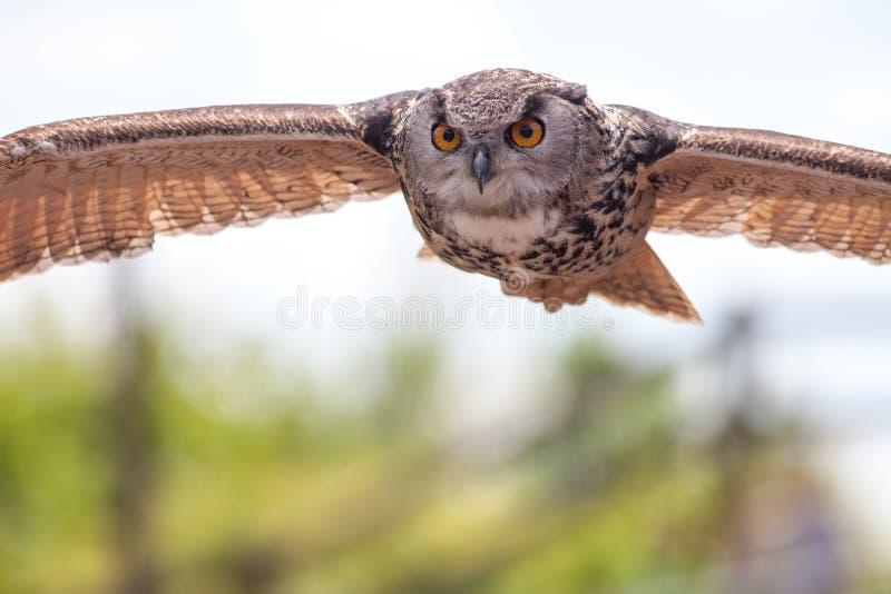 Europeisk fågel för örnuggla av rovet i flykten som jagar Pred förstulet arkivfoto
