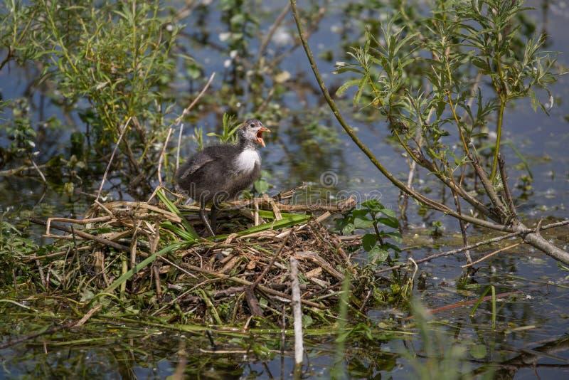 Europeisk fågelunge för sothönaFulicaatra royaltyfri fotografi