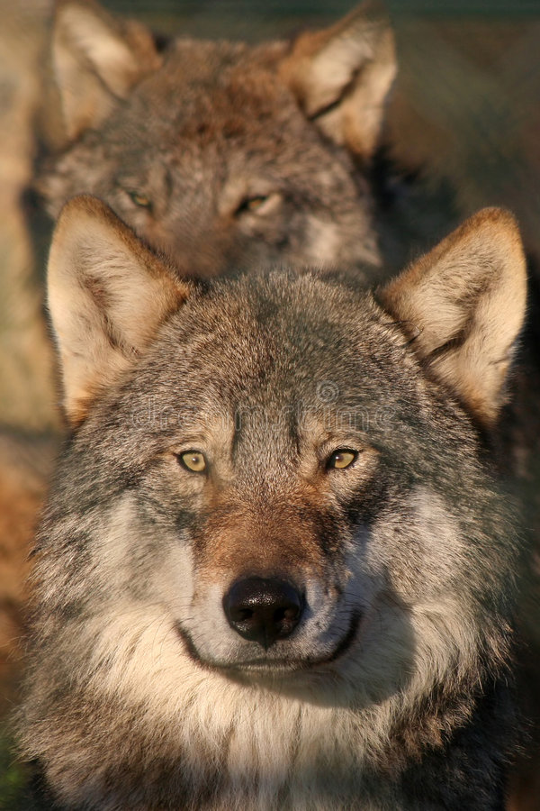 europeisk grå wolf royaltyfri bild
