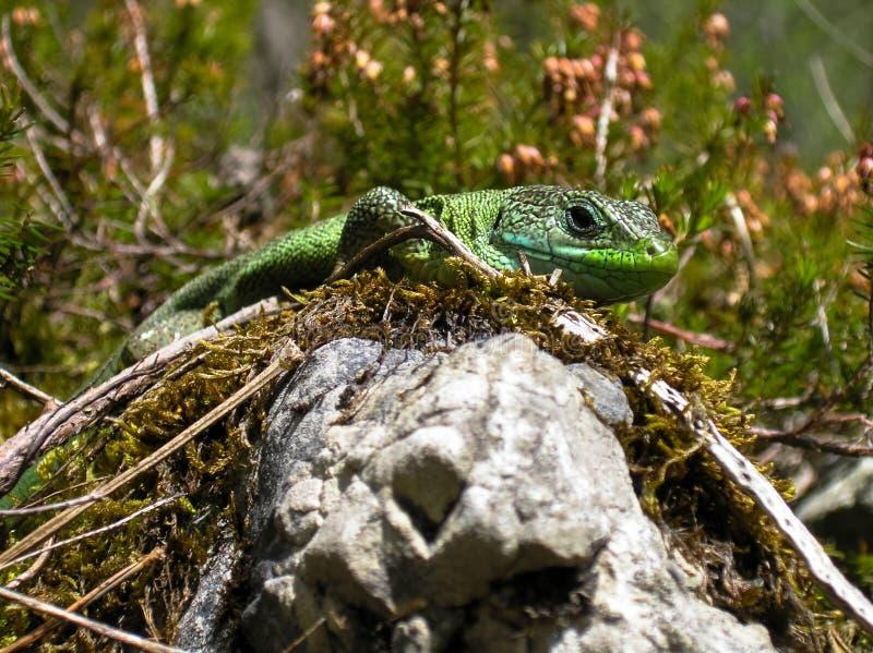 Europeisk grön ödla på stenen royaltyfri fotografi