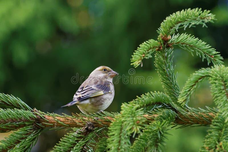 europeisk greenfinch royaltyfria bilder