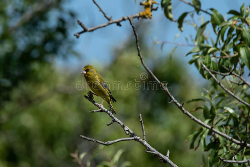 europeisk greenfinch portugal arkivbilder