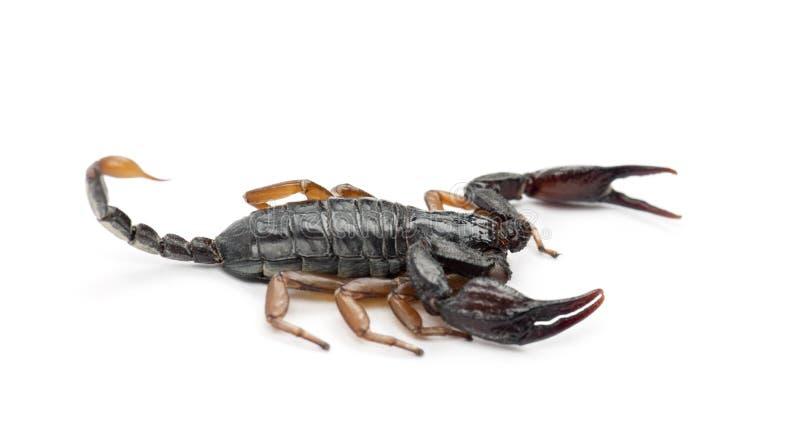 Europeisk Gul-Tailed Scorpion royaltyfria foton