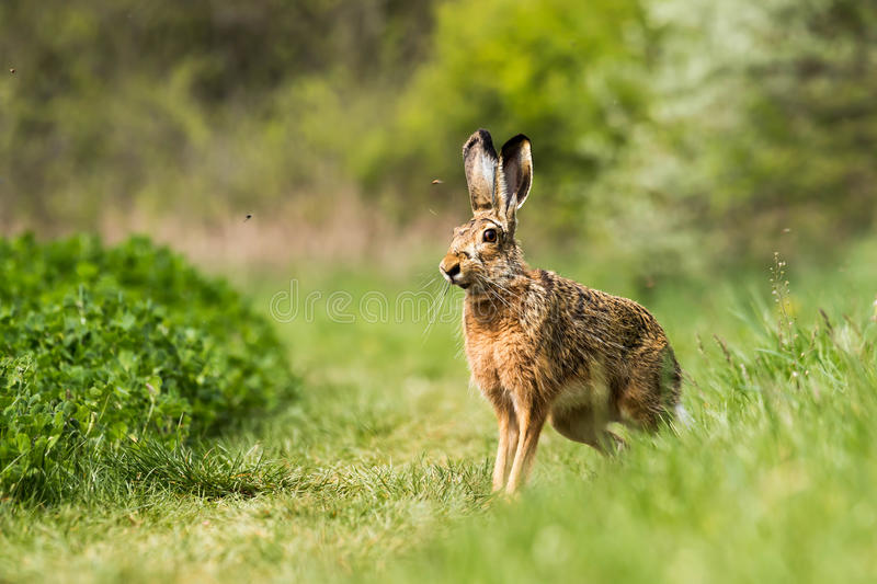 Europeisk hare (Lepuseuropaeusen) royaltyfri fotografi