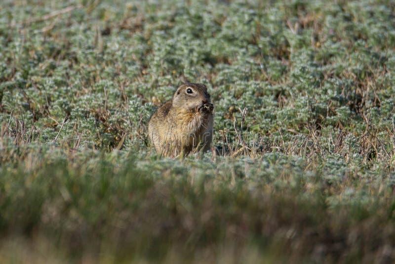 Europeisk jordekorre som äter i gräset fotografering för bildbyråer