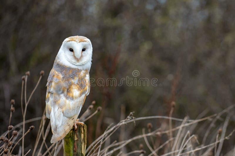 Europeisk ladug?rd Owl Tyto Alba i fullst?ndigt naturlig livsmilj? royaltyfri foto