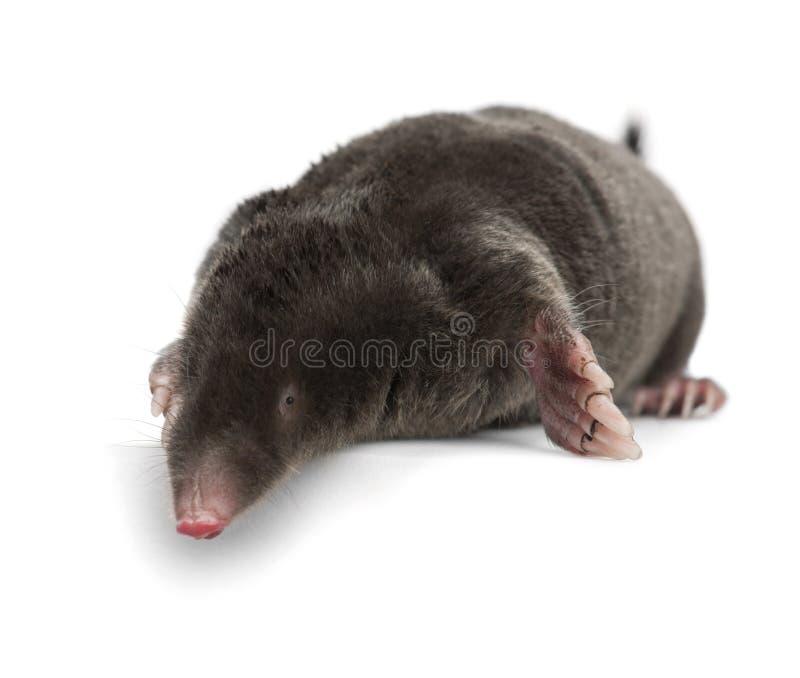Europeisk Mole, Talpa europaea royaltyfria foton