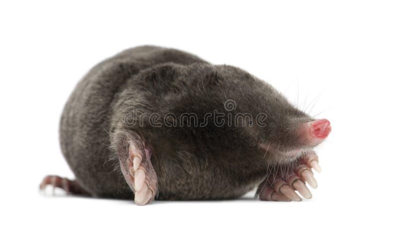 Europeisk Mole, Talpa europaea arkivfoto